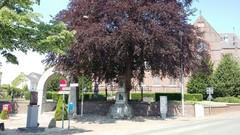 Opgaande bruine beuk als vredesboom bij herdenkingsmonument