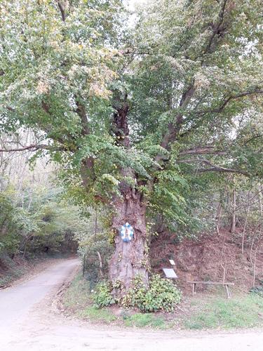 Gekandelaarde winterlinde als kapel- en kruispuntboom