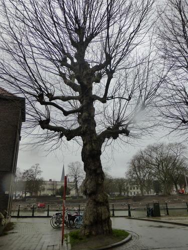 Gekandelaarde platanen als wegbeplanting
